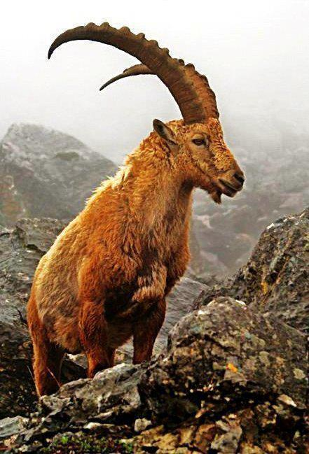 Mountain Ibex Watching Tours