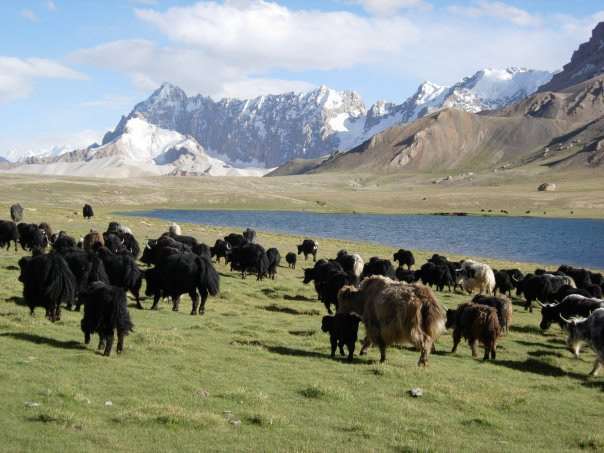 Shimshal Pass Yak Safari